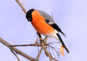 bullfinch seen through a digiscope