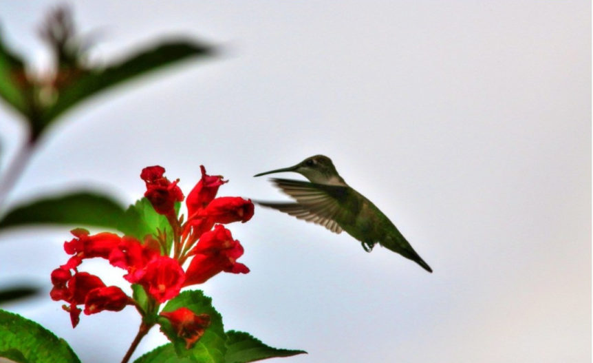 flowers for attracting hummingbirds